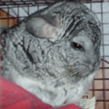 chinchilla-image